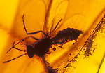 Fly fossil in amber