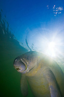 Florida manatee, Trichechus manatus latirostris, threatened species, Kings Bay, Crystal River, Florida, Gulf of Mexico, Caribbean Sea, Atlantic Ocean