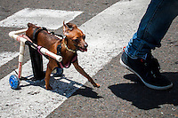 A dog in wheelschair walks during a rally against bullfighting and at the same time celebrates Animal Day in Medellin, Colombia, 10.05.2014. VIEWpress/Juan Gabriel Lopera