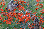 Black-faced langurs eat from a Palash or Flame of the Forest tree, Jawai, Rajasthan, India