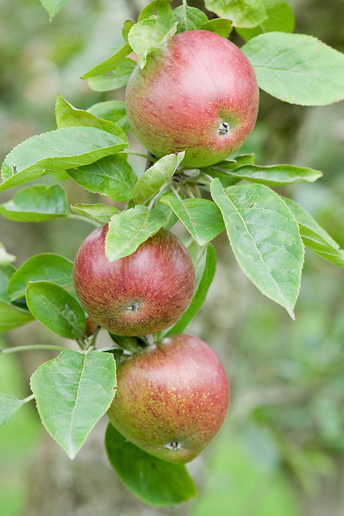 Apple 'Fortosh', mid September. A Canadian dessert apple, first introduced in 1926.