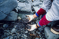 Remaining crude oil from the Exxon Valdez Oil spill trapped under rocks on a beach four years after the spill, 1993. Latouche Island, Prince William Sound, Alaska