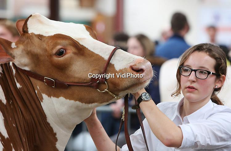 Foto: VidiPhoto<br /> <br /> PUTTEN - In Putten kwamen zaterdag de beste melkkoeien en pinken van Midden-Nederland bijeen om elkaar de loef af te steken. Het ging om de mooiste bouw, de beste uiers en de netste presentatie. Niet alle koeien gedroegen zich even mak. De zogenomende fokveedag was mede georganiseerd door leerlingen van het agrarisch Groenhorst College uit Barneveld, die zelf met 44 personen ook met een 'eigen' koe deelnamen aan de show. De afgelopen week werd er daarom geoefend met de dieren bij de diverse boerenbedrijven. De geselecteerde koeien moesten leren mooi te lopen en rustig te blijven naast hun begeleider. In totaal kwamen 180 dieren in de ring voor de keuring. Nog niet eerder hebben zoveel studenten tegelijk meegedaan aan zo'n veekeuring. Voor agrari&euml;rs is de dag een onderlinge competitie van het mooiste en beste vee. De studenten moeten leren omgaan met vee. Omdat bedrijven groter worden, krijgen koeien minder individuele aandacht, waardoor ze steeds wilder worden. Kinderen van veehouders konden hun eigen kalfje laten keuren. CDA-kamerlid Jacco Geurts was zaterdag eregast.