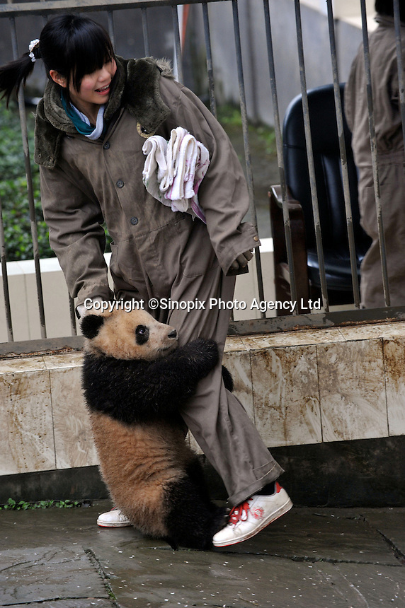 A six months old panda born from mothers evacuated from Wolong Panda base in Sichuan after last year's devastating earthquake, holds onto a keeper's leg at the panda kindergarden at Bi Fengxia Panda Research Base in the mountains of Sichuan, China. Thirteen pandas in total were born from evacuated mothers were evacuated to the area which is famous for its rainfall and bad weather..