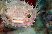 Orbiculate Porcupinefish (Cyclichthys orbicularis), Malaysia.