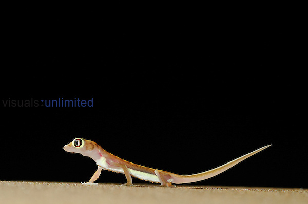 Web-footed Gecko (Palmatogecko rangei) on a sand dune in the Namib Desert, Namibia.