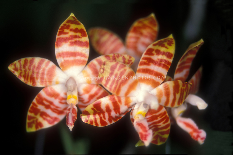 Orchid striped Phalaenopsis amboinensis, Fragrant Novelty Orchid species in orange and yellow flowers