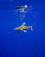oceanic whitetip sharks, Carcharhinus longimanus, and short-finned pilot whales, Globicephala macrorhynchus, sharks often follow whales to scavenge on free meals like whale feces and leftovers, Kona Coast, Big Island, Hawaii, USA, Pacific Ocean