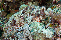 Magnificently camouflaged poisonous stonefish, Palau Micronesia. (Photo by Matt Considine - Images of Asia Collection)