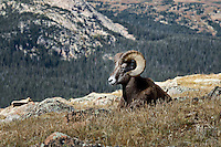 Bighorn Sheep on Trail Ridge Road, Rocky Mountain National Park