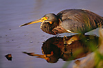 Tricolored heron, Everglades National Park, Florida
