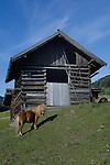 Shetland pony outside animal shelter, Imst district, Austria.