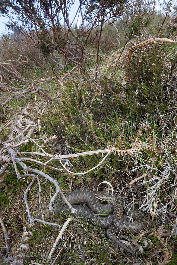 Female Adder (Vipera berus) wide angle view showing excellent camouflage amongst heather and bracken. Peak District National Park, Derbyshire, UK. April.