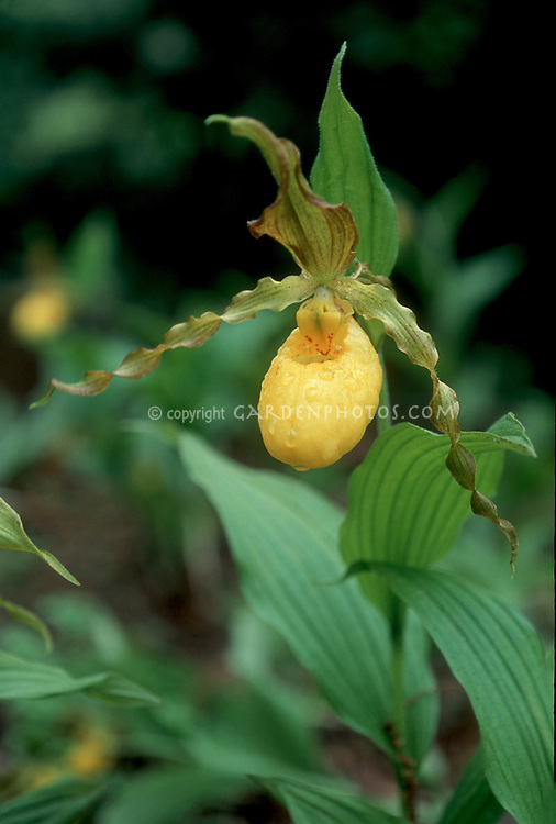 Cypripedium parviflorum var pubescens, Yellow Ladyslipper Orchid
