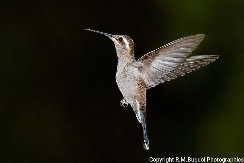 Blue-throated Hummingbird in flight