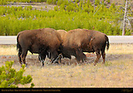 Bison, Young Males, Three-way Confrontation, Madison Junction, Yellowstone National Park, Wyoming