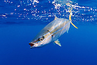 rainbow runner, .Elagatis bipinnulatus, .Kona, Big Island, Hawaii (Pacific).