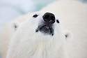 Norway, Svalbard, male polar bear, portrait, close-up of head, ear tag