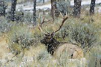 Elk, Wapiti (Cervus elaphus), bull during snow storm, Yellowstone National Park, Wyoming, USA