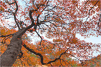 Looking up into the heart of a Maple tree, this is the view you'll find in mid-November as the leaves begin to change. Lost Maples State Park is located in the middle of hte Hill Country in central Texas and provides a great place for hiking and exploring while taking in the breathtaking views of Autumn.