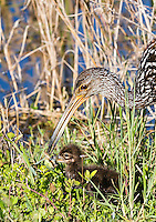 Limpkin adult feeding apple snaill to it's downy chick, snail is in chick's mouth
