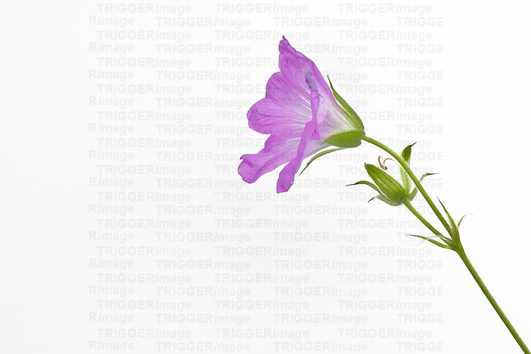 Single flower on white background