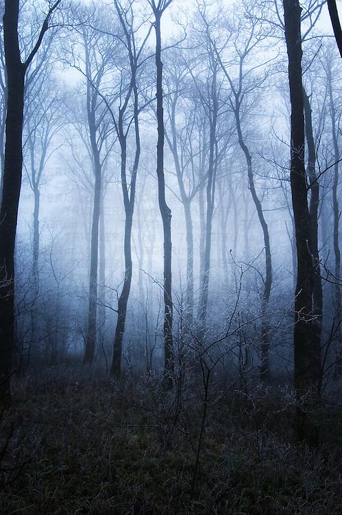 Mist through tall trees