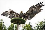 Bald eagle Sukai lands on a perch durring the Wild Life Live show at The Oregon Zoo. © Oregon Zoo / Photo by Carli Davidson