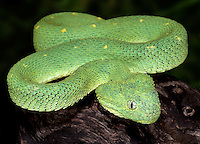 Western Bush Viper (Atheris chlorechis), captive.