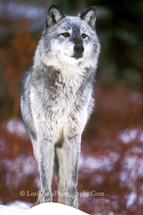 Silver Wolf | Hotel-R