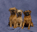 Brussels Griffon<br /> <br /> <br /> Shopping cart has 3 Tabs:<br /> <br /> 1) Rights-Managed downloads for Commercial Use<br /> <br /> 2) Print sizes from wallet to 20x30<br /> <br /> 3) Merchandise items like T-shirts and refrigerator magnets