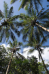 Milne Bay, Papua New Guinea; palm trees along pathway to skull caves , Copyright © Matthew Meier, matthewmeierphoto.com