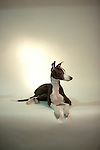 Italian Greyhound <br />