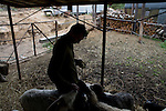 Valera, a former drug user who is now in a rehabilitation program run by the orthodox church, feeds the sheep and goats at the organization's live-in retreat in Sapernoe, Russia, on Saturday, September 15, 2007. About a dozen people at a time live and work at the remote farm, about two hours from St. Petersburg, for a free one year course of treatment.