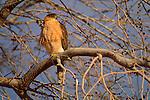A Cooper's hawk perches in a tree in Bosque del Apache National Wildlife Refuge, New Mexico.