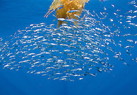 Jack Mackerel (Trachurus symmetricus) in the open sea with a drifting Giant Kelp, paddy, San Diego, California, USA