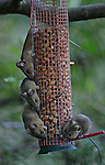 JAMES BOARDMAN / 07967642437.Nut crazy House mice take over Marie Susans bird feeder in her garden in Heathfield, East Sussex. SEE FEATS PRESS STORY