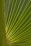 Palm leaf, backlit, Osa Peninsula, southern Costa rica.