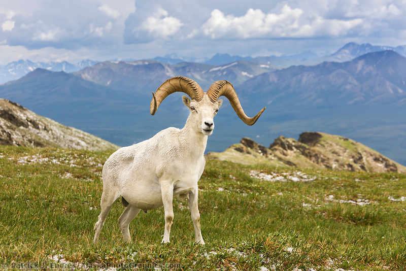 Dall sheep ram with full curl on a mountain ridge in Denali National Park, interior, Alaska.