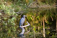 Little Blue Heron, Egretta caerulea, Everglades, Florida, USA