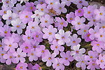 Despite its delicate appearence, Siberian phlox is an extremely hardy plant that can withstand the harsh elements of the high Arctic