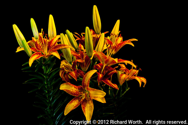 A bouquet of bright yellow, red, orange and pale green Asiatic Lilies, Lilium hybrida.