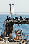 Cormorants and gulls on cement ship at Seacliff SB.   FB 388<br />