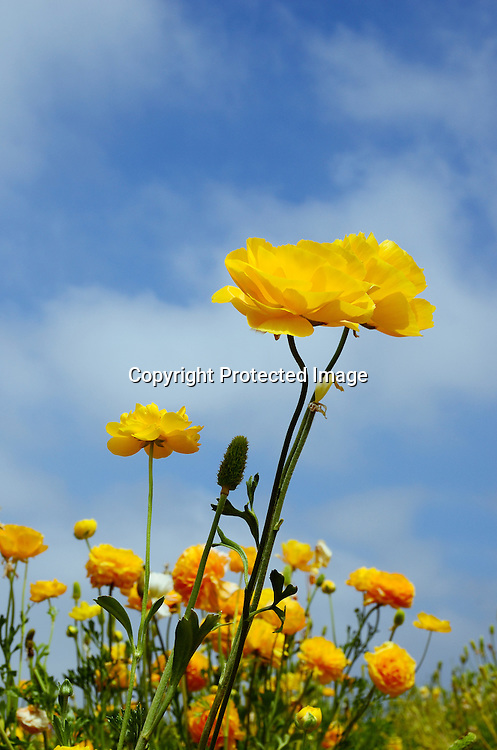 Stock Photos of Field of beautiful flowers of ranunculus