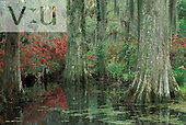 Baldcypress Trees ,Taxodium distichum, in a blackwater swamp, Magnolia plantation. Charleston, South Carolina