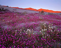 CADAB 116 -  Desert sand verbena and dune evening primrose bloom on dunes with sunset on the distant Santa Rosa Mountains, Anza-Borrego Desert State Park, California, USA --- (4x5 inch original, File size: 6123x4800, 84.1mb uncompressed)