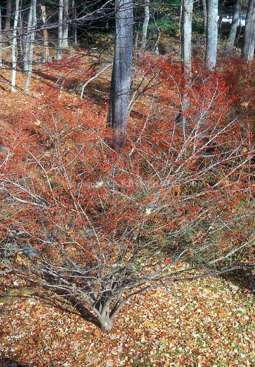 Euonymus alatus in winter red berries (Burning Bush)