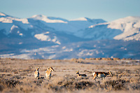 Pronghorn along the Absaroka Front in Wyoming