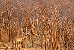 Impala in brush, Zimbabwe