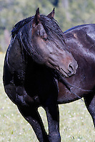 Galaxy is striking black stallion born in 2006.  He now has his own band into which the foal Oro was born this year. Mother: Quelle Colour.